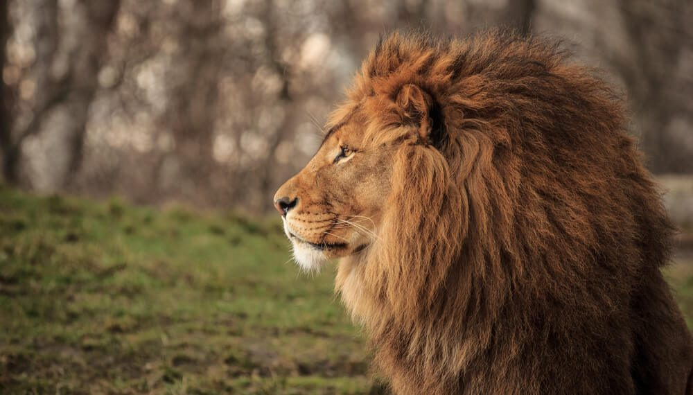 History of Lions