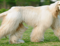 Large white male Afghan Hound Dog