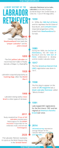 History of the Labrador Retriever infographic_dogbreedswiki.com