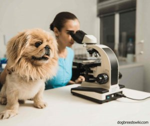 Vet examining a cute dog with a microscope in a lab